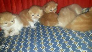 Persian kittens available in mumbai  each
