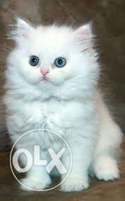 Very cheap price 50 days persian kitten for sale in all