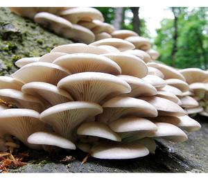 Leading Oyster Mushrooms and Milky Mushrooms Supplier