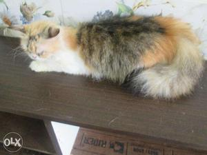 Female persian cat of good breed for sale!