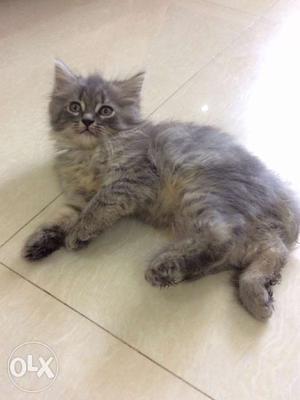 Male persian kitten for sale
