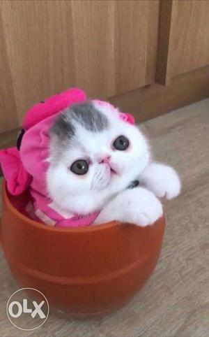 So cute persian kitten for sale in kanpur