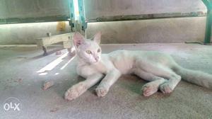 White Cat In Ernakulam