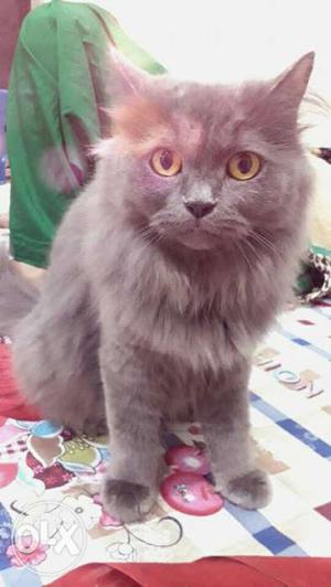 Female persian cat for sale very active,friendly