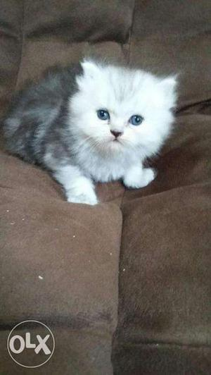 Very cheap price so cute persian kitten for sale in noida