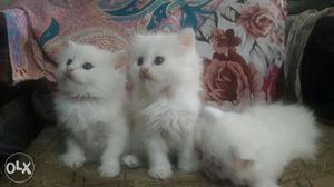 2 Persian doll male and female hai  each