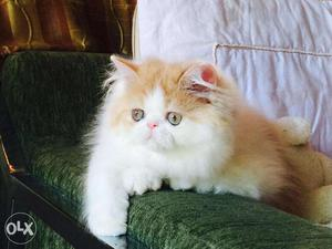 All india persian kitten for sale in all