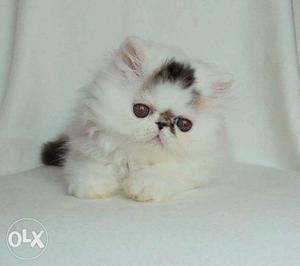 Golden color so cute persian kitten for sale in all