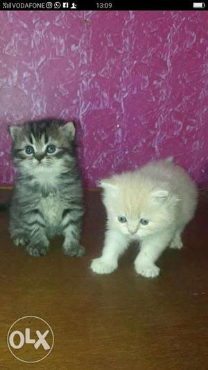 Persian kittens available at rs