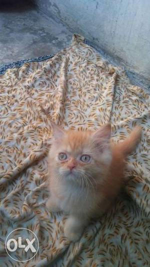 Playfull traind baby persian cats kitten sale.all colors