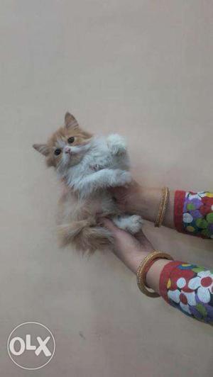So cute pure persian kitten for sale in noida
