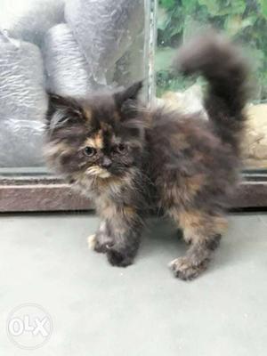 Hi I have totty female kitten for sale full