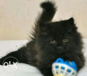 Persian Male and female kittens
