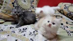 Pure Persian kitten for sale grey, white and