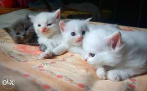 Pure Persian kittens. 1 white Male and 2 white female