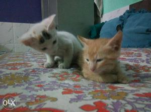 Two White And Orange Tabby Kittens 1 manth male female