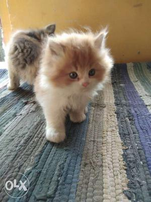 Persian cat kitten Available in wide range Call