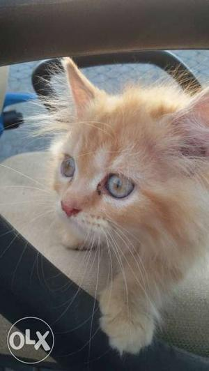 Pure persian kitten available in different colours