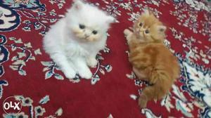Two White And Orange Persian Kittens