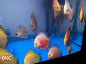 Amazing Discus For Sale.. Size 3 Inch To 5.5