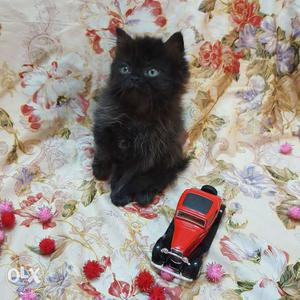 Black beautiful kitten at Amazing price only for