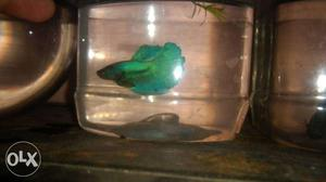 Good quality imported Betta male and females