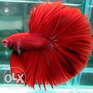 Imported betta for sale