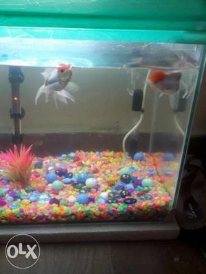 Oranda red cap fish for sale... 300 rs for pair..