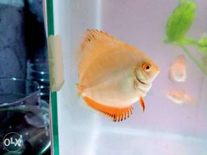 Red mandrin discus 2.5 inches 2 pieces and 1.5