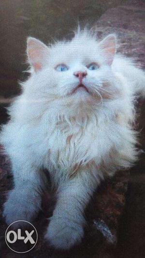 White color kitten sale in your city