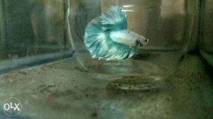 Aaa Grade Imported Betta For Sale