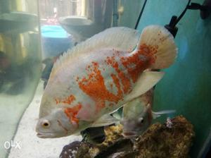 Oscar fish for sale posot class for Large oscar fish for sale