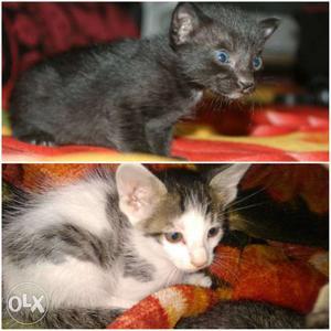 Black & white female kitten of white cat for