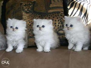 Persian Cats Available Here! Trust Kennel