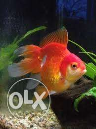 Orange ryukin gold fish