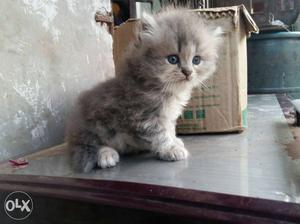 Pure flat face persian kittens available at cheap