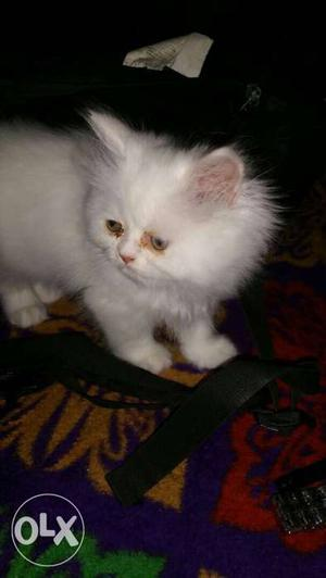 Pure persian kittens all colors available in