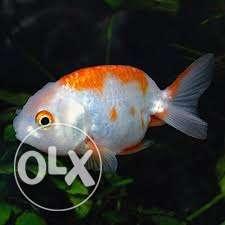Red white ranchu gold fish
