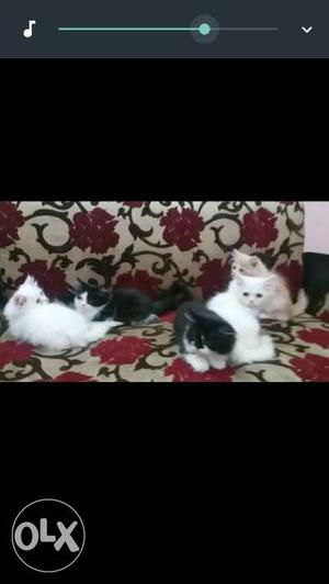 Healthy and active Persian kittens available,