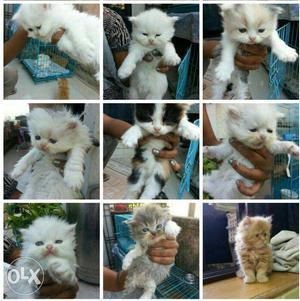 Cute Persian kitten available in Mumbai  each