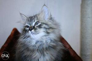 Full Furry Persian Kitten Available For Sale in