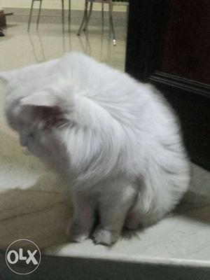 Male Persian cat 18 months old call for more