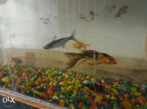 Orange And Black Fishes