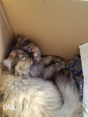 Urgent sale female 3 months old pure persian cat for