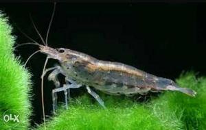 Wood shrimp for your planted aquarium 15 RS each.