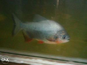 Gray Fish In Kollam