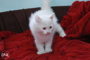 I want to sell my cat in /- if anybody