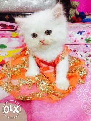 More palyfull haelthy baby persian cats kitren sale.all