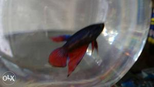 Betta fighterfish for wholesale price rs. 25
