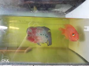 Flowerhorn Male 9 Inc & Perrot Female 5 Inc Set